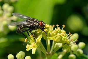 Flesh fly (Sarcophaga sp) feeding on Ivy flowers (Hedera helix), Wiltshire garden, UK, September - Nick Upton