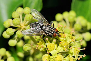 Flesh fly (Sarcophaga sp.) feeding on Ivy flowers (Hedera helix), using proboscis to take nectar, Wiltshire garden, UK, September - Nick Upton