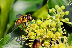 Hoverfly (Myathropa florea), using proboscis to feed on pollen from anthers of Ivy flowers (Hedera helix). Wiltshire garden, UK, September  -  Nick Upton