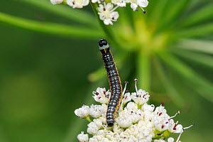 Moth caterpillar (Depressaria daucella) a specialist of riverine habitats, stretching up from one cluster of Angelica (Angelica sylvestris) flowers to another, Wiltshire riverbank, UK, June. - Nick Upton