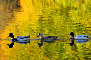 Two Mallard drakes (Anas platyrhynchos) and a duck swim on ornamental lake, reflected in the water along with golden colours of autumn leaves, Wiltshire, UK, October  -  Nick Upton