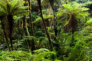 Cloud forest, Pic Macaya National Park, Massif de la Hotte, Haiti, October 2010  -  Claudio Contreras