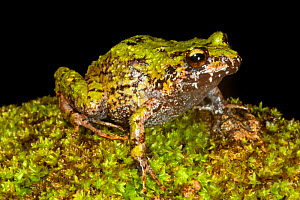 Short nosed green landfrog (Eleutherodactylus brevirostris), critically endangered, Pic Macaya National Park, Massif de la Hotte, Haiti, October  -  Claudio Contreras