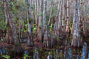 Bald Cypress (Taxodium distichum) in swamp with epiphytes growing from bark. Corkscrew Swamp Sanctuary, Florida, USA, January. - Adrian Davies