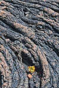 Aeonium growing on rope lava formation. Lanzarote, Canary Islands, July. - Adrian Davies