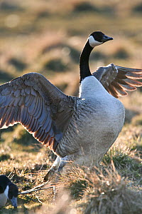 Canada Goose (Branta canadensis) stretching its wings. Sweden, Europe, February.  -  Bjorn Forsberg