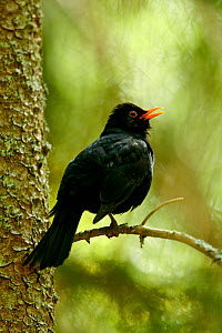Blackbird (Turdus merula) male perched on a twig and calling. Sweden, Europe, May.  -  Bjorn Forsberg