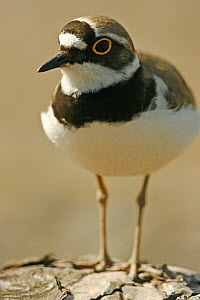 Portrait of a Little Ringed Plover (Charadrius dubius). Sweden, Europe, June.  -  Bjorn Forsberg