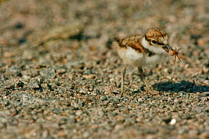 Little Ringed Plover (Charadrius dubius) chick with a small spider in its beak. Sweden, Europe, June.  -  Bjorn Forsberg