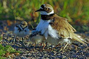 Little Ringed Plover (Charadrius dubius) adult with two chicks. Sweden, Europe, June.  -  Bjorn Forsberg
