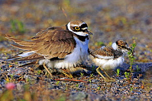 Little Ringed Plover (Charadrius dubius) adult with chicks. Sweden, Europe, June.  -  Bjorn Forsberg