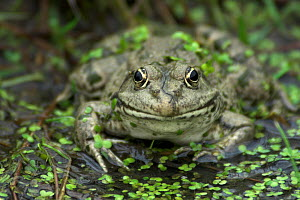 Portrait of an adult Marsh Frog (Rana ridibunda). Captive. Surrey, UK, September.  -  Colin Varndell