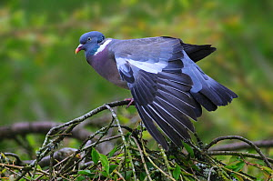 Woodpigeon (Columba palumbus) perched on branch stretching wing, Dorset, UK, May. - Colin Varndell