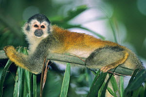 Central America Red Backed Squirrel Monkey (Saimiri oerstedii) resting on a frond. Endangered species. Manuel Antonio National Park, Costa Rica. - Kevin Schafer