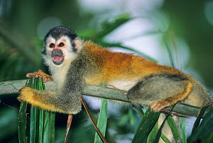 Central America Red Backed Squirrel Monkey (Saimiri oerstedii) calling from a branch. Endangered species. Manuel Antonio National Park, Costa Rica.  -  Kevin Schafer