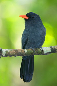 Black-fronted Nunbird (Monasa nigrifrons) perched on a branch. Rio Negro, Amazon, Brazil.  -  Kevin Schafer