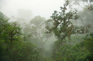 Fog shrouded canopy in Montane Rainforest, Yungas, eastern Andes, Peru.  -  Kevin Schafer