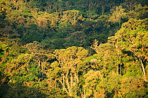Montane rainforest at an altitude of 2000 metres. Eastern Andes, Peru.  -  Kevin Schafer