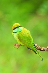 Green Bee-eater (Merops orientalis) perched on a branch. Yala National Park, Sri Lanka. - Kevin Schafer