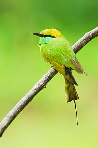 Green Bee-eater (Merops orientalis) perched on branch. Yala National Park, Sri Lanka.  -  Kevin Schafer