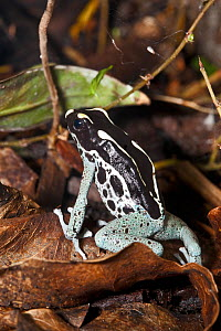 Dyeing Poison Dart Frog (Dendrobates tinctorius) in fallen leaves. Captive. Occurs the Guianas, Brazil. - Rod Williams