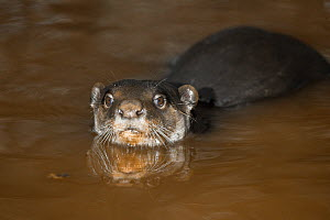 Smooth-coated / Smooth Indian Otter (Lutrogale / Lutra perspicillata) in water. Captive. Occurs India, southern China, Bhutan, Thailand, Vietnam, Laos and other SE Asian countries. - Rod Williams
