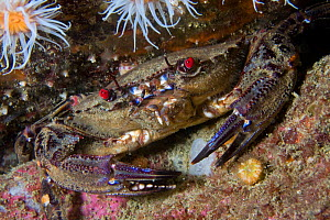 Velvet Swimming Crab (Liocarcinus / Necora puber). Channel Islands, UK, May.  -  Sue Daly