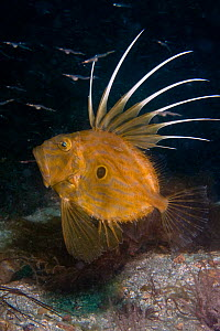 John Dory (Zeus Faber) with Pipefish spawn. Channel Islands, UK, August.  -  Sue Daly