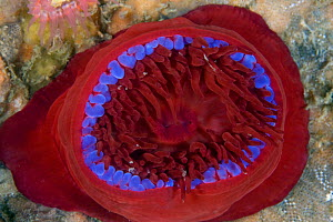Beadlet Anemone (Actinia equina). Channel Islands, UK, August. - Sue Daly