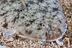 Dover Sole (Solea solea) with Ichthyobdellid leeches. Channel Islands, UK, August. - Sue Daly