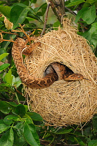 Rhombic Egg-eating Snake (Dasypeltis scabra) in nest of Cape Weaver bird (Poceus capensis). Little Karoo, Western Cape, South Africa, January.  -  Tony Phelps