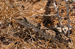 Cape Skink (Trachylepis capensis) female camouflaged in minimal cover. De Hoop Nature Reserve, Western Cape, South Africa, January.  -  Tony Phelps