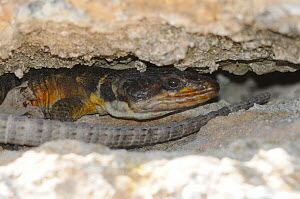 Cape Crag Lizard (Pseudocordylus microlepidotus) sheltering from sun in crevice. De Hoop Nature Reserve, Western Cape, South Africa, January. - Tony Phelps