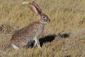 Cape Hare (Lepus capensis) in profile. De Hoop Nature Reserve, Western Cape, South Africa, January. - Tony Phelps