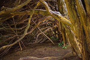 Interior of ancient Yew hedge (Taxus baccata), UK - Ernie Janes