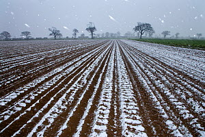 Snow falling on arable land with Oak trees in the background, Southrepps, Norfolk, UK, April  -  Ernie Janes