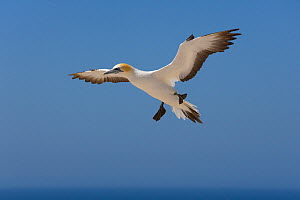 Australasian gannet in flight (Morus / Sula serrator) stalling in air, Australia  -  Ernie Janes