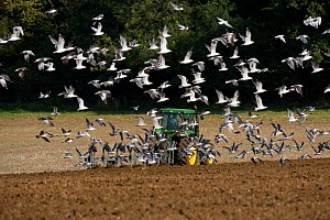 Large flock of Seagulls following a tractor ploughing, Upper Gade Valley, Chilterns, Hertfordshire, UK, autumn  -  Ernie Janes