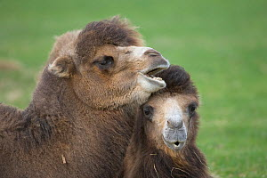Bactarian Camel (Camelus bactrianus) Endangered species, from central Asia, captive - Ernie Janes
