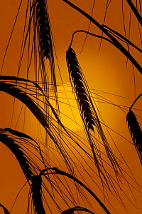 Silhouette of Barley ears (Hordeum vulgare) ready for harvest, against setting sun, UK - Ernie Janes
