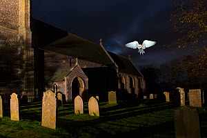 Barn owl (Tyto alba) over graveyard of St James Church, South Repps, Norfolk, UK, December. Digital composite  -  Ernie Janes