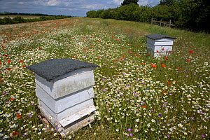Traditional Bee hives in flower meadow, Chilterns, Buckinghamshire, UK  -  Ernie Janes