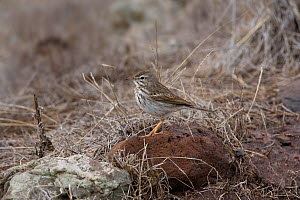 Berteolot's Pipit (Anthus bertheloti madeirenis) perched on rock, Madiera  -  Ernie Janes