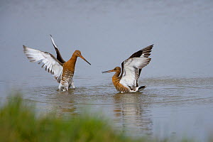 Black-tailed godwit (Limosa limosa) fighting, summer plumage, Norfolk, UK, July - Ernie Janes