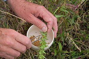 Botanist extracting seed from Field Cow Wheat (Melampyrum sp) which is nearly extinct in UK  -  Ernie Janes