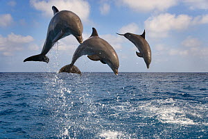 RF- Three Bottle-nosed dolphins (Tursiops truncatus) breaching, Bay Islands, Honduras, Caribbean. Controlled conditions. (This image may be licensed either as rights managed or royalty free.)  -  Ernie  Janes