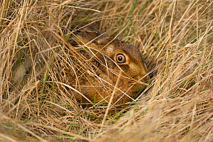 European brown hare (Lepus europaeus) in long grass, camouflaged, UK, March - Ernie Janes