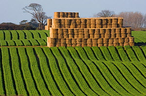 Large crop of Carrots growing in field with stack of round straw bales, Norfolk, UK, November  -  Ernie Janes