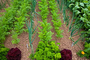 Vegetable garden with rows of carrots, onions and beet spinach, Norfolk, UK - Ernie Janes