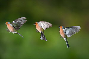 RF- Chaffinch (Fringilla coelebs) male in flight, showing flight sequence, Composite image. (This image may be licensed either as rights managed or royalty free.)  -  Ernie  Janes